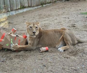 VIDEO! Loomaaia lõvi Tori tähistas sünnipäeva kingitustega mängides