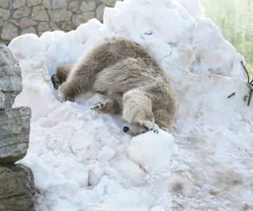 VIDEO! Tallinna loomaaed kutsub talvisel koolivaheajal jääkarupäevale