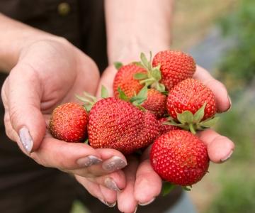 Maasikakorjajaks kandideerib üle 100 inimese ametikohale