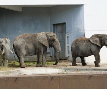 Loomaaias astusid kaalule kõik elevandid