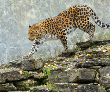 GALERII! LÕBUS PEREPÄEV LOOMAAIAS: Lumeleopardipäeval tutvuti kaslase salapärase eluga