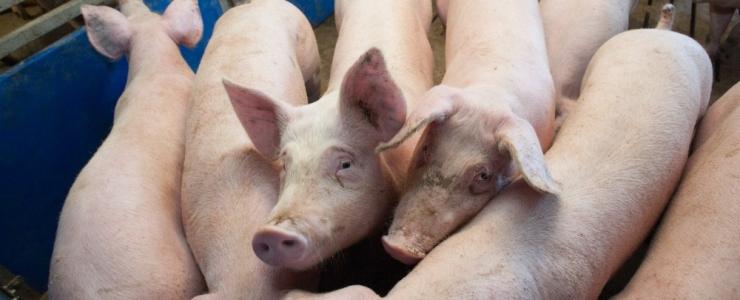 Seakatk leiti Tartumaa farmist, hukatakse ligi 1200 siga