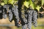 Veiniamet: maailma veinitoodang oli tänavu 50 aasta madalaim