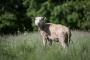 Ilves on Hiiumaa taluniku karjast murdnud paarkümmend talle
