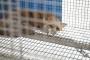 Loomakaitsjad tervitavad karusloomafarme lõpetava eelnõu algatamist