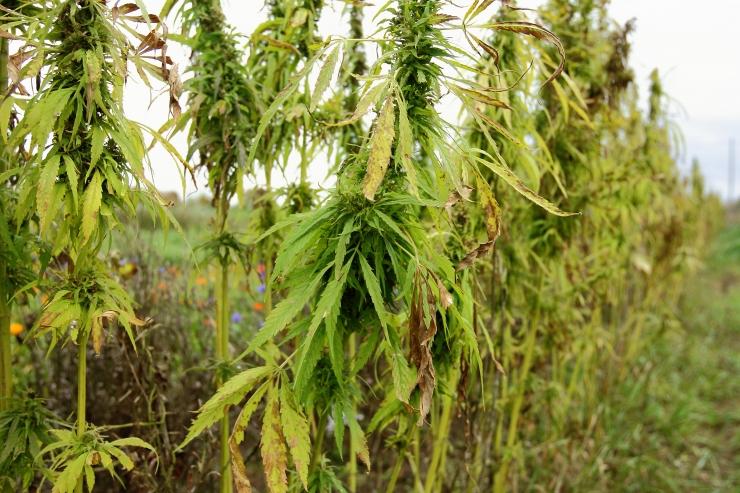 Tollitöötajad avastasid suures koguses khati ja kanepi taimi