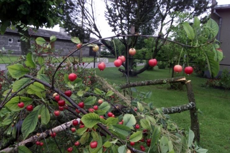 Nõmmel istutatakse kergliiklustee äärde sada kirsi- ja õunapuud