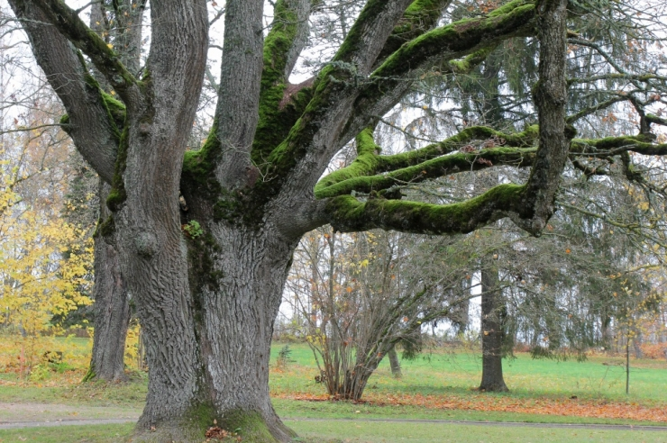 VIDEO: Orissaare tamm pärjati Brüsselis Euroopa aasta puu tiitliga