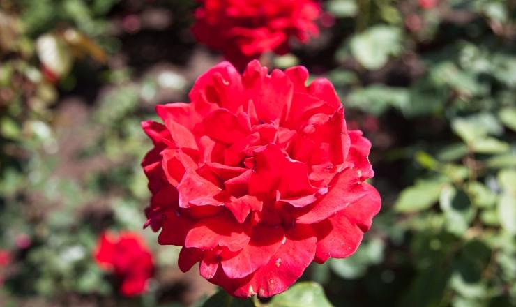 Tallinna Botaanikaaias toimuvad roosipäevad