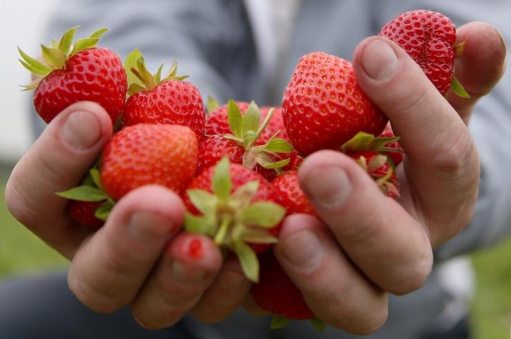 Milline maasikasort sobib moosiks, milline sügavkülmutamiseks?