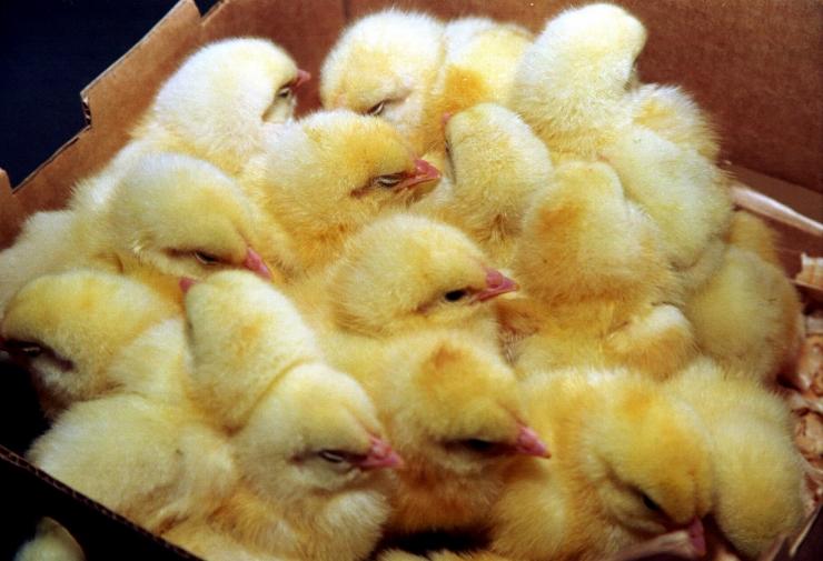 HKScan loobus Rakvere linnuvabrikkusse investeerimast