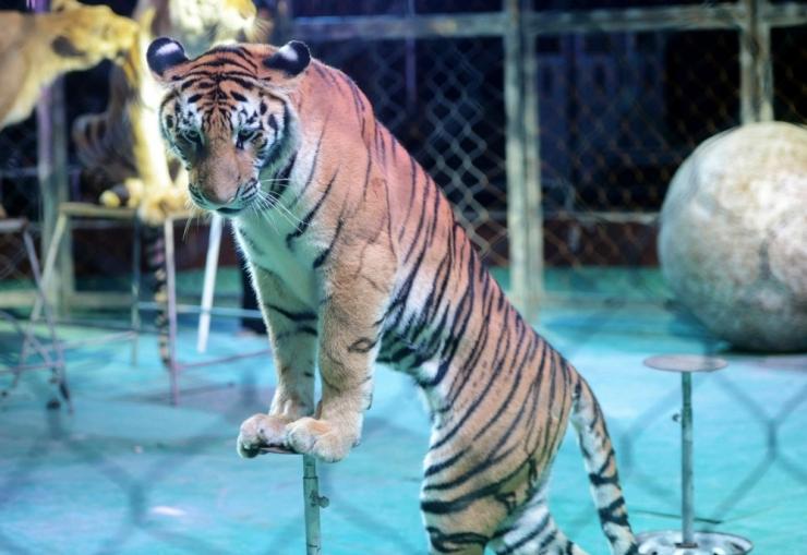 LOOMAKAITSJA: Lõbus tsirkuseetendus on loomade jaoks lõputu hirmu ja piinamise kadalipp