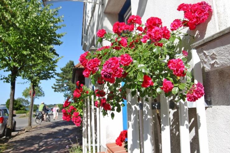 Botaanikaaed kutsub rooside ilu imetlema