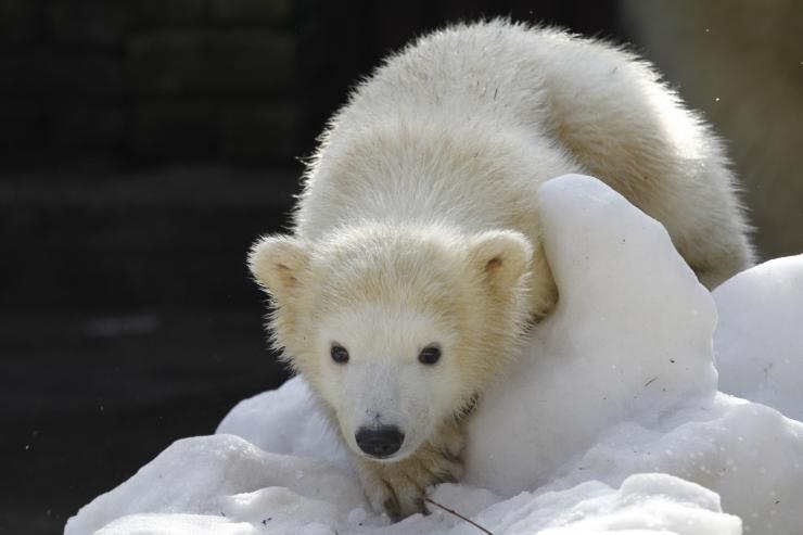 FOTOD! Acme LED valgustite kaudu tuli jääkarude uue kodu tarvis 1225 eurot
