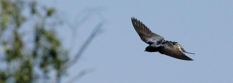 Keskkonnaamet kutsub tõkestama lindude hoonetesse pesitsema pääsemist
