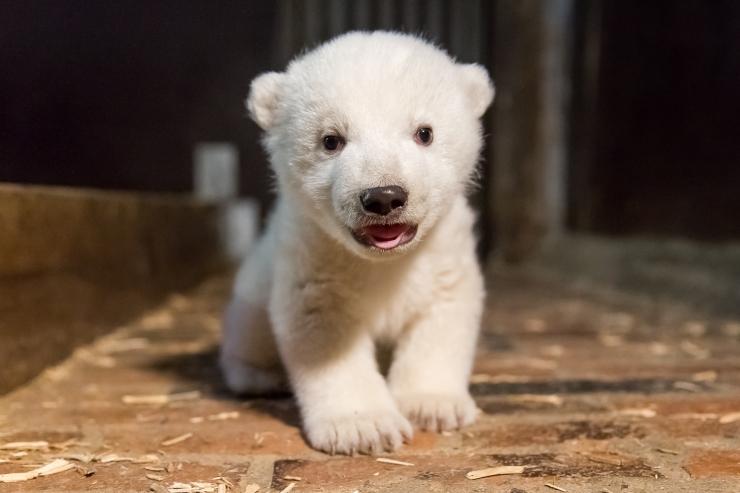Tallinna loomaaias sündinud jääkarupoeg sai nimeks Aron