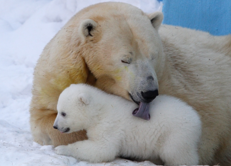 Loomaaed ei plaani jääkarupojaga end turundada