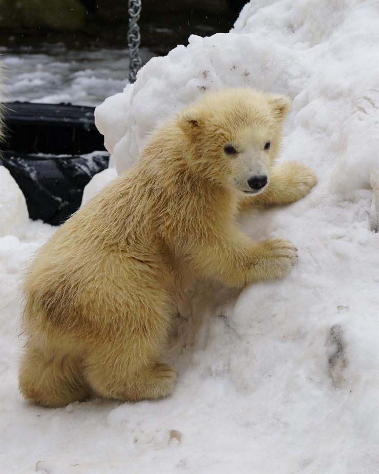 Jääkarupäev möödunud pühapäeval meelitas loomaaeda rekordarvu külastajat