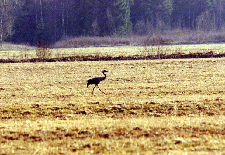 Soojad ilmad tõid lindude hoogsa kevadrände