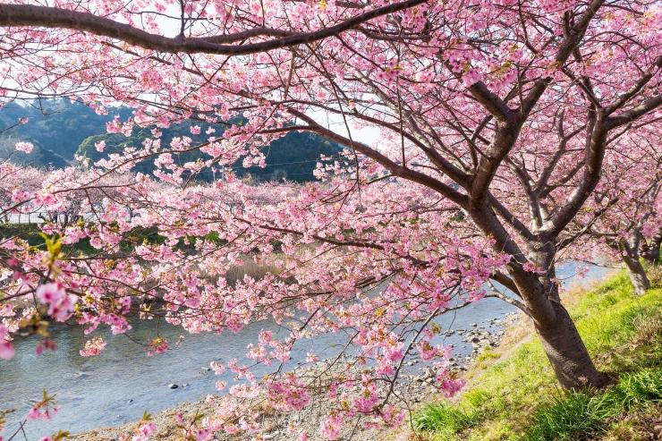 Tokyos lõid kirsid õitsele