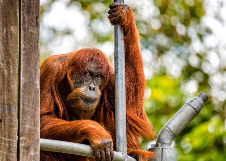 Maiustuste nimel ohverdatakse inimõigusi ja orangutanide tulevik