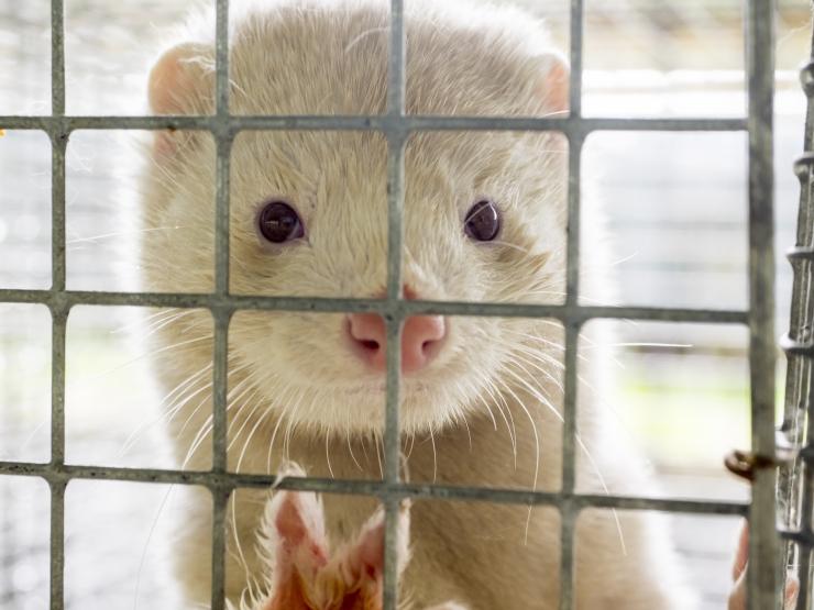 Loomakaitsjad: karusloomafarmid võidakse sulgeda enne kümmet aastat