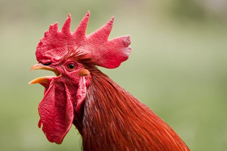 Veterinaaramet: linnugripi risk Eestis on väga kõrge