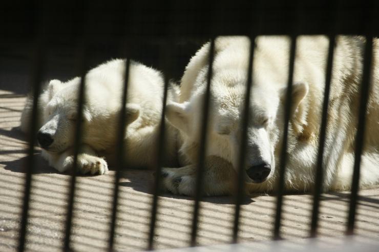 FOTOD JA VIDEO! Loomaaias peeti jääkarude uue kodu sarikapidu
