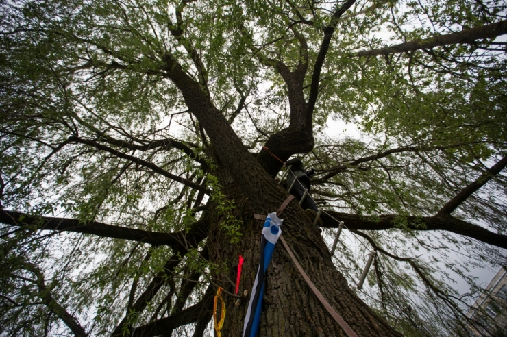 Lauri Laats: miks Haabersti remmelga kaitsjad puud ristmiku arutelude ajal ei päästnud?