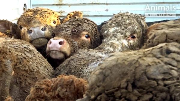 Enam kui miljon Euroopa Liidu kodanikku nõuab põllumajandusloomade pikamaatranspordi lõpetamist