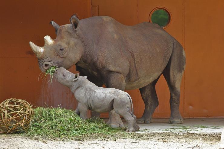 Äsja emaks saanud ninasarvik Kibibi tähistab sünnipäeva