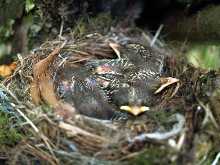 Kodanikuühendus: hoolimatu ja jõhker raietegevus lindude pesitsusperioodil vajab suuremaid piiranguid