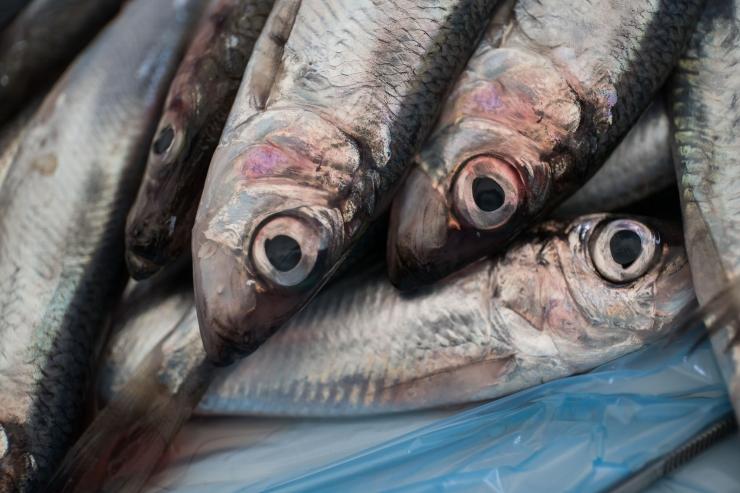 Homsest peatatakse rääbisepüük Peipsi, Lämmi- ja Pihkva järvel