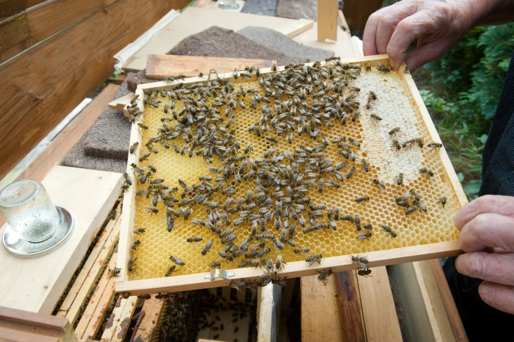 Järvamaal hukkunud mesilastest ei leitud taimemürkide jääke