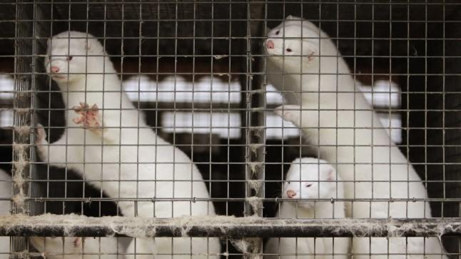Loomus: karusloomafarmide keelustamine Tšehhis näitab Eestile teed