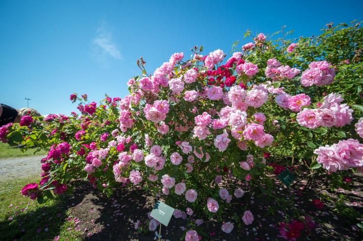 FOTOD! Botaanikaaed mattus roosipäevadel lillemerre