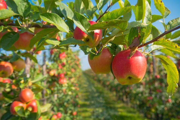 Tallinn rajab Piiskopi aeda õunapuude ala