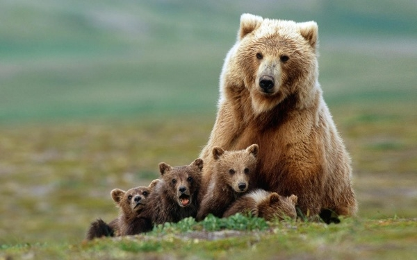 Saaremaal nähti üle 60 aasta taas karu