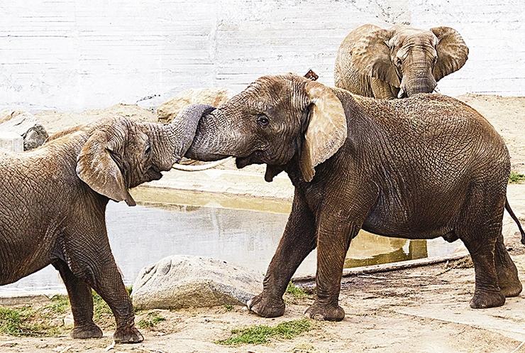 Tulemas on elevandipäev ja ninasarvikulapse ristsed