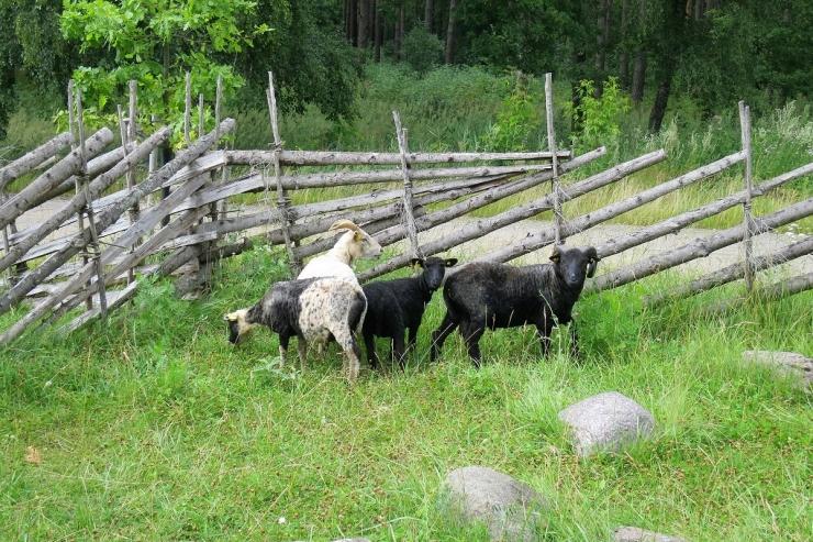 Tallinna loomaaia ekspositsiooni jõudis kohalik põlistõug – kihnu maalammas