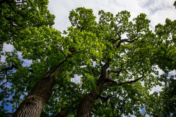 Soome-eestlased istutavad 100-aastasele Soomele tamme