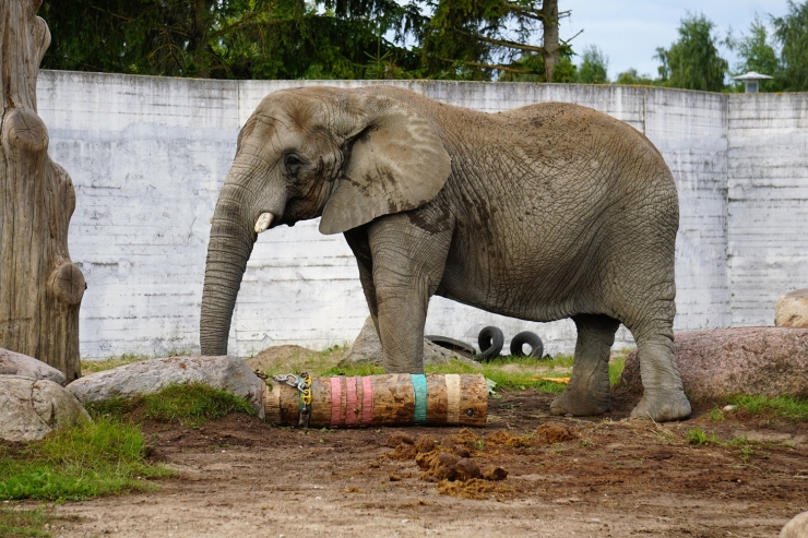 Tudengid valmistasid Aafrika elevantidele uued mänguasjad