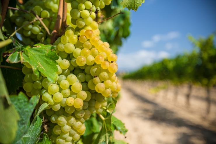 Botaanikaaia teemapäevad on pühendatud viinamarjadele