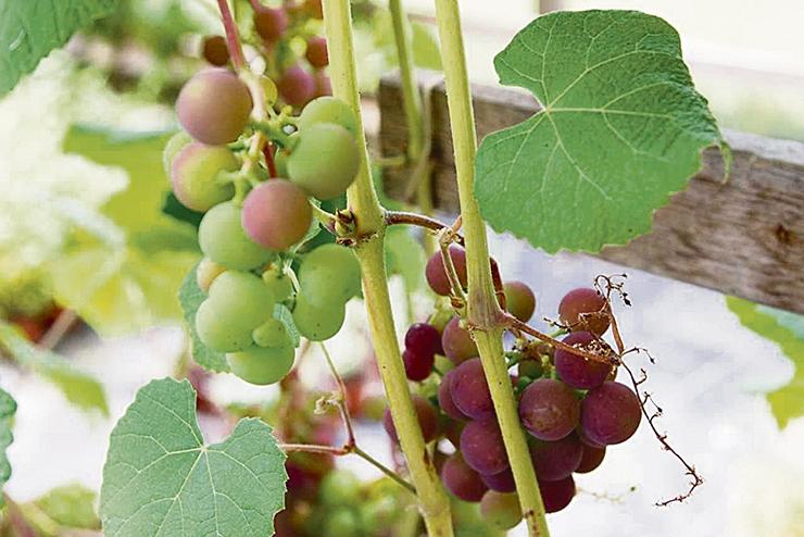 Botaanikaaed tutvustab Eestis kasvavaid viinamarju ja arbuuse