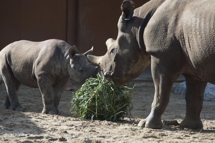 FOTOD! Loomaaed tähistas täna ninasarvikupäeva