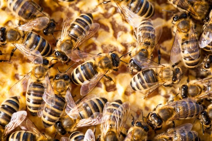 Maaelukomisjon jätkab mesilaste arvu vähenemise probleemi käsitlemist