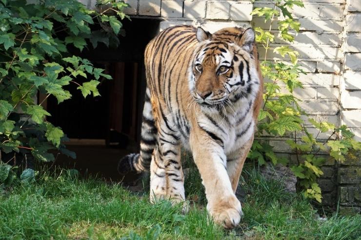 Amuuri tiiger Piiga tähistas 20. sünnipäeva