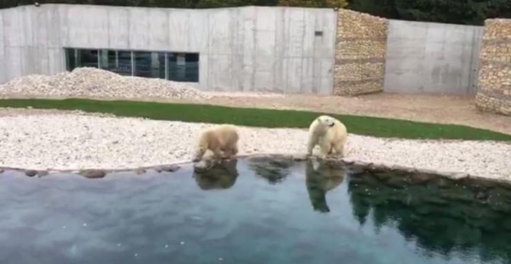 VIDEO: Jääkarud Friida ja Aron tutvusid esimest korda uue koduhooviga