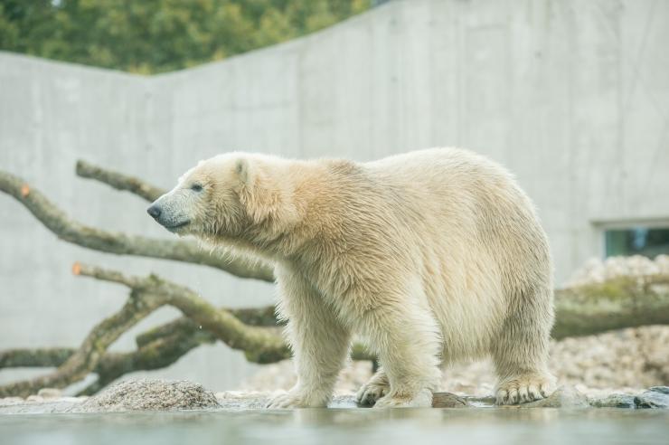 Loomaaed kutsub jääkarumaailma uudistama