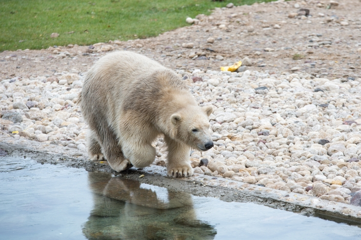 FOTOD JA VIDEO! Loomasõbrad, Tallinna linn ja riik kinkisid jääkarudele tipptasemel polaariumi